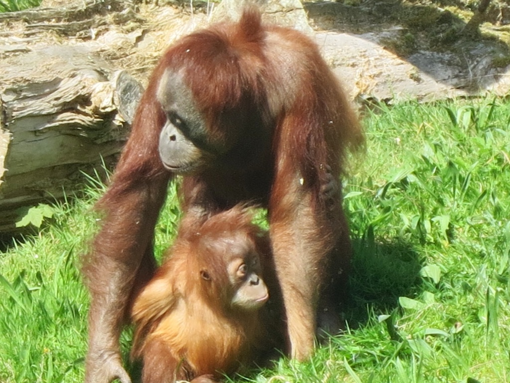 Orang mother with baby on grass 1