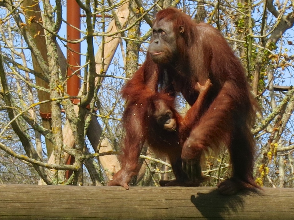 Orang mother and baby on the bridge 3