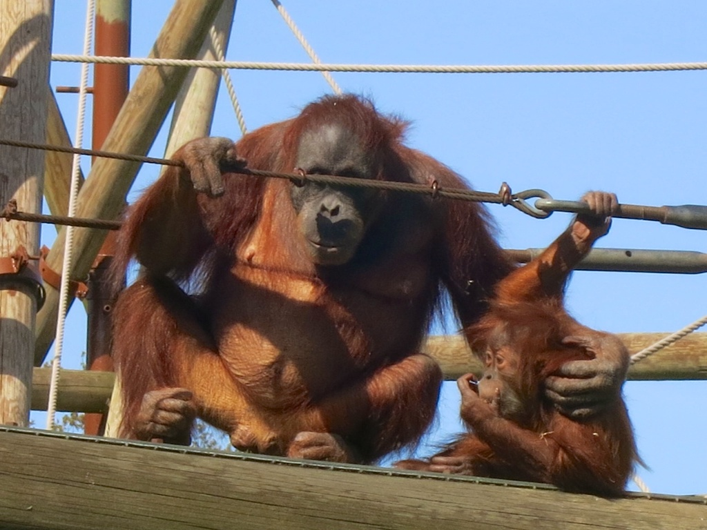 Orang mother and baby on the bridge 1