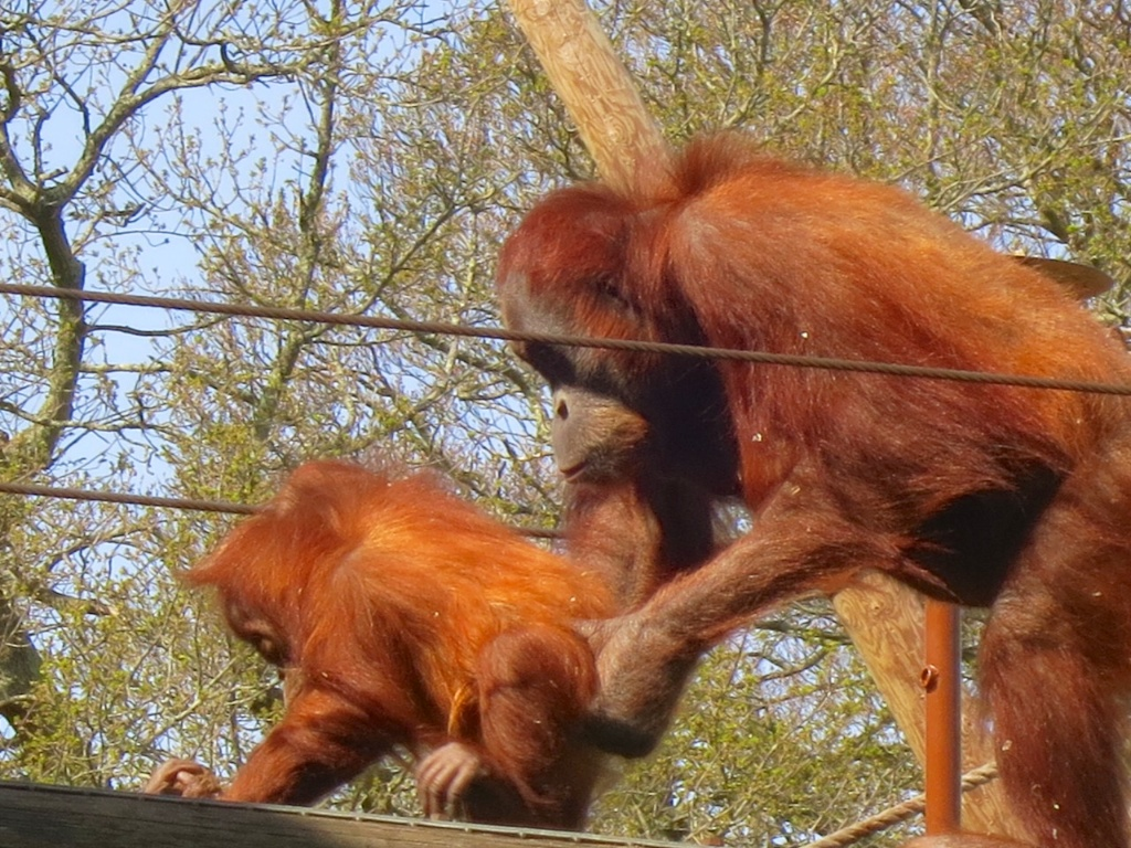 Orang mother and baby on the bridge 2