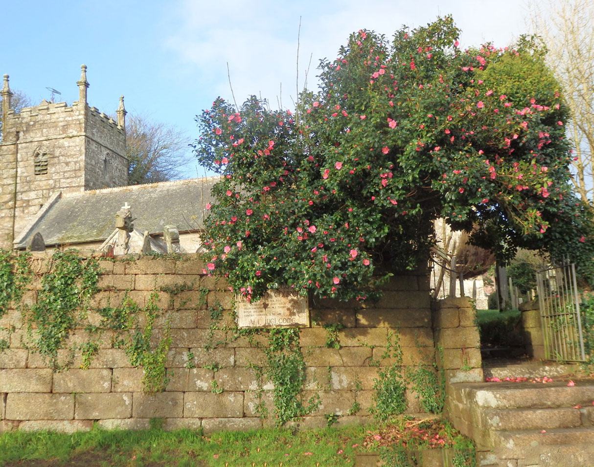 Sancreed church's magnolia
