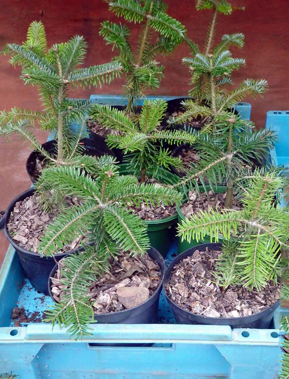Seedling Christmas trees