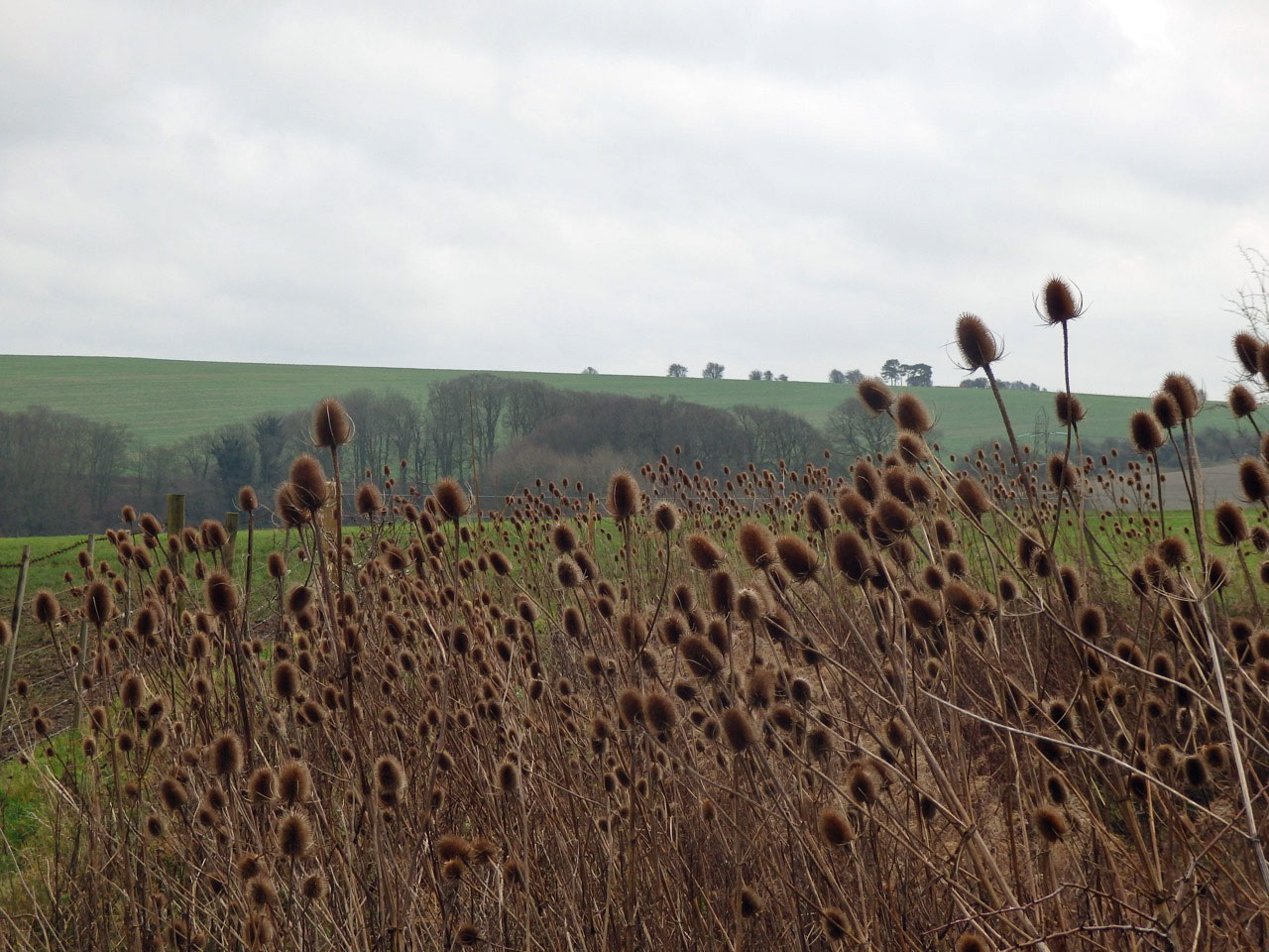 Teasels on the downs