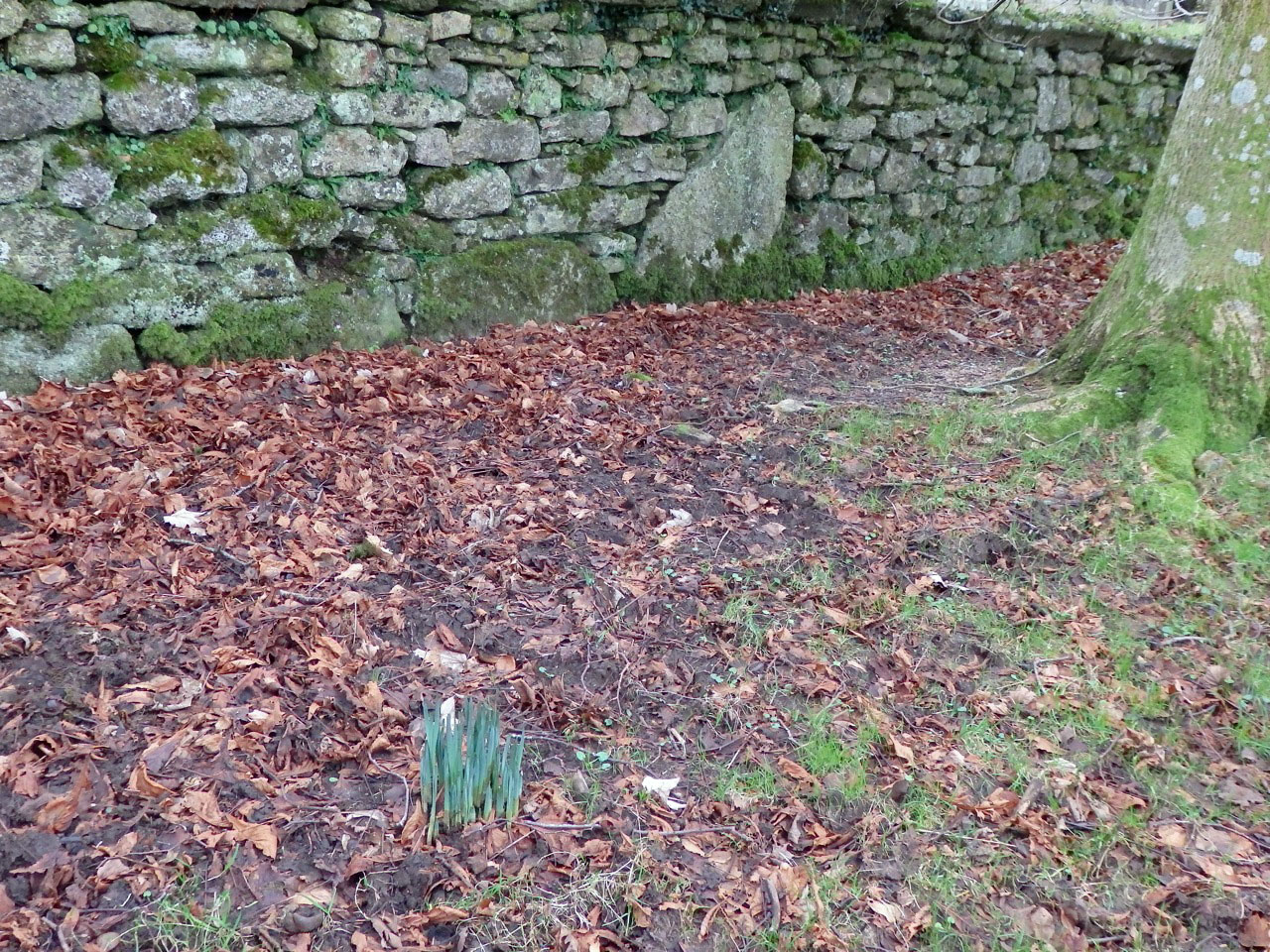 Daffodils sprouting beside the churchyard wall