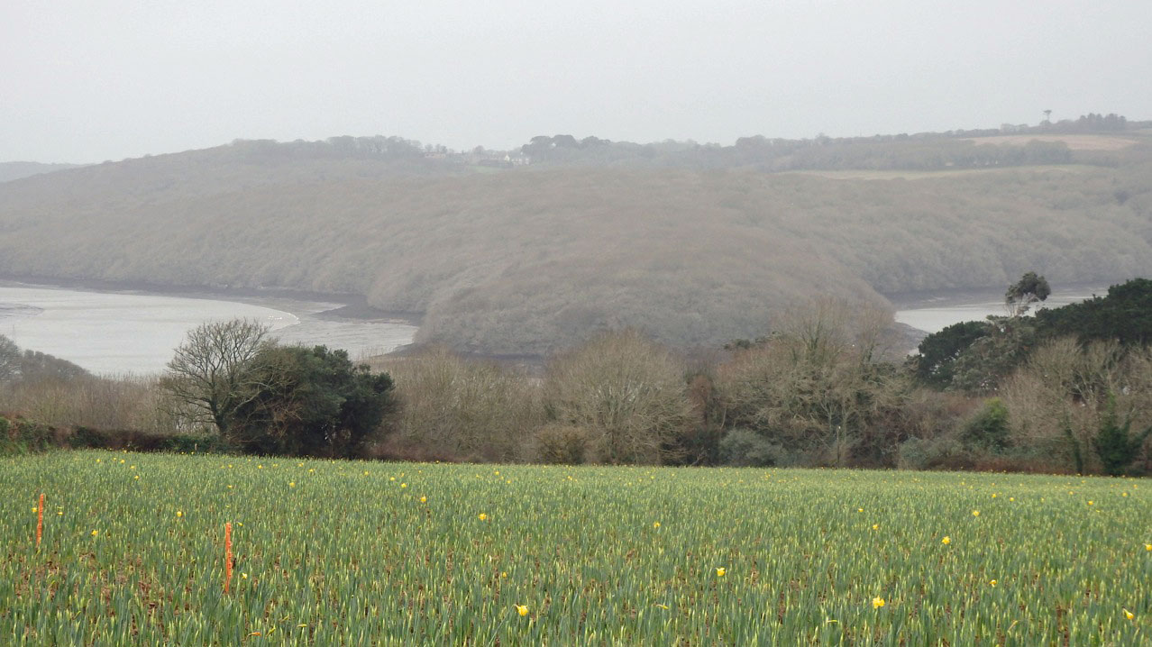 Daffodils on Helford River