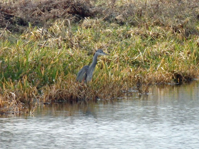 Well-camouflaged young heron