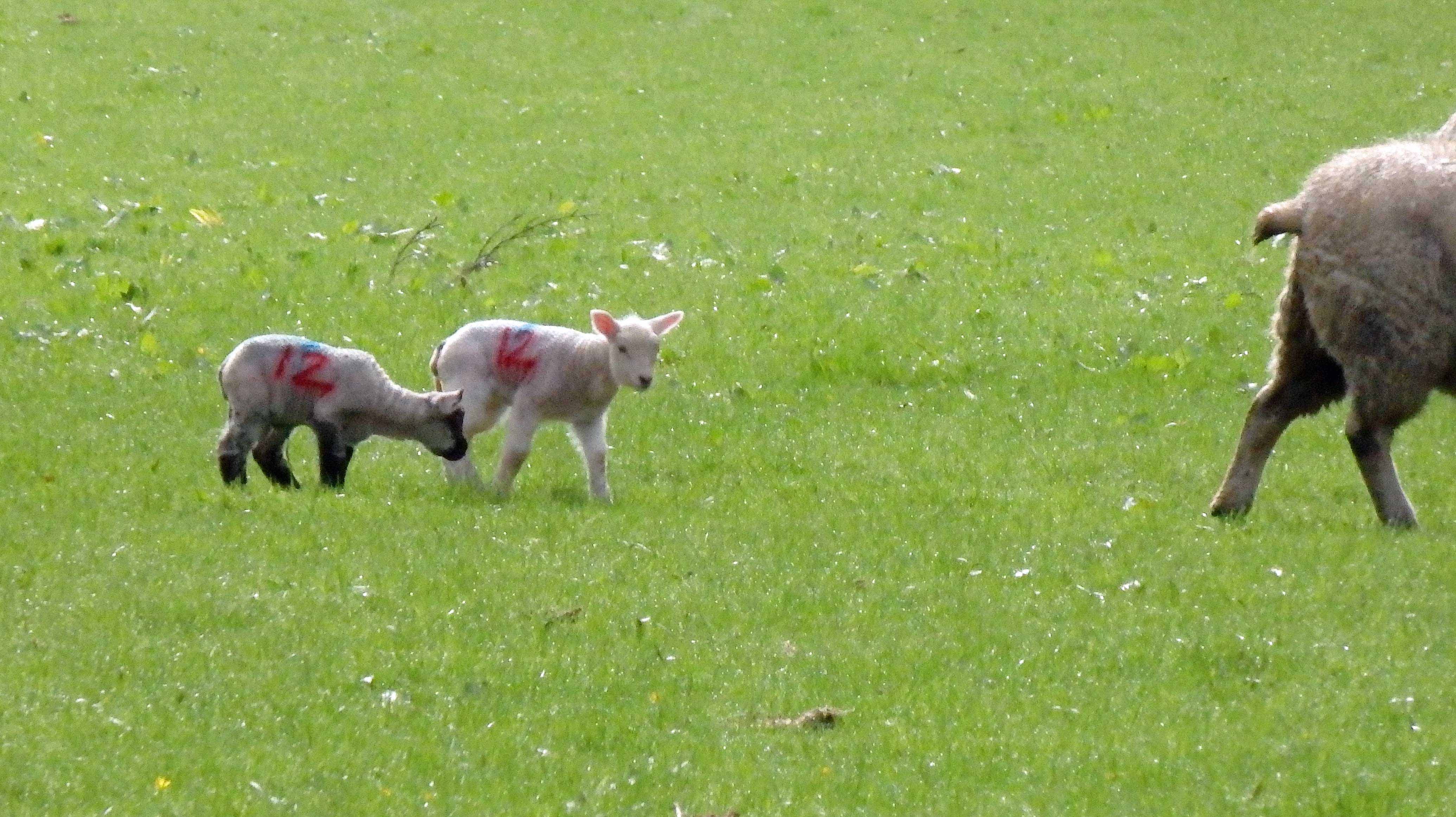 March lambs 1