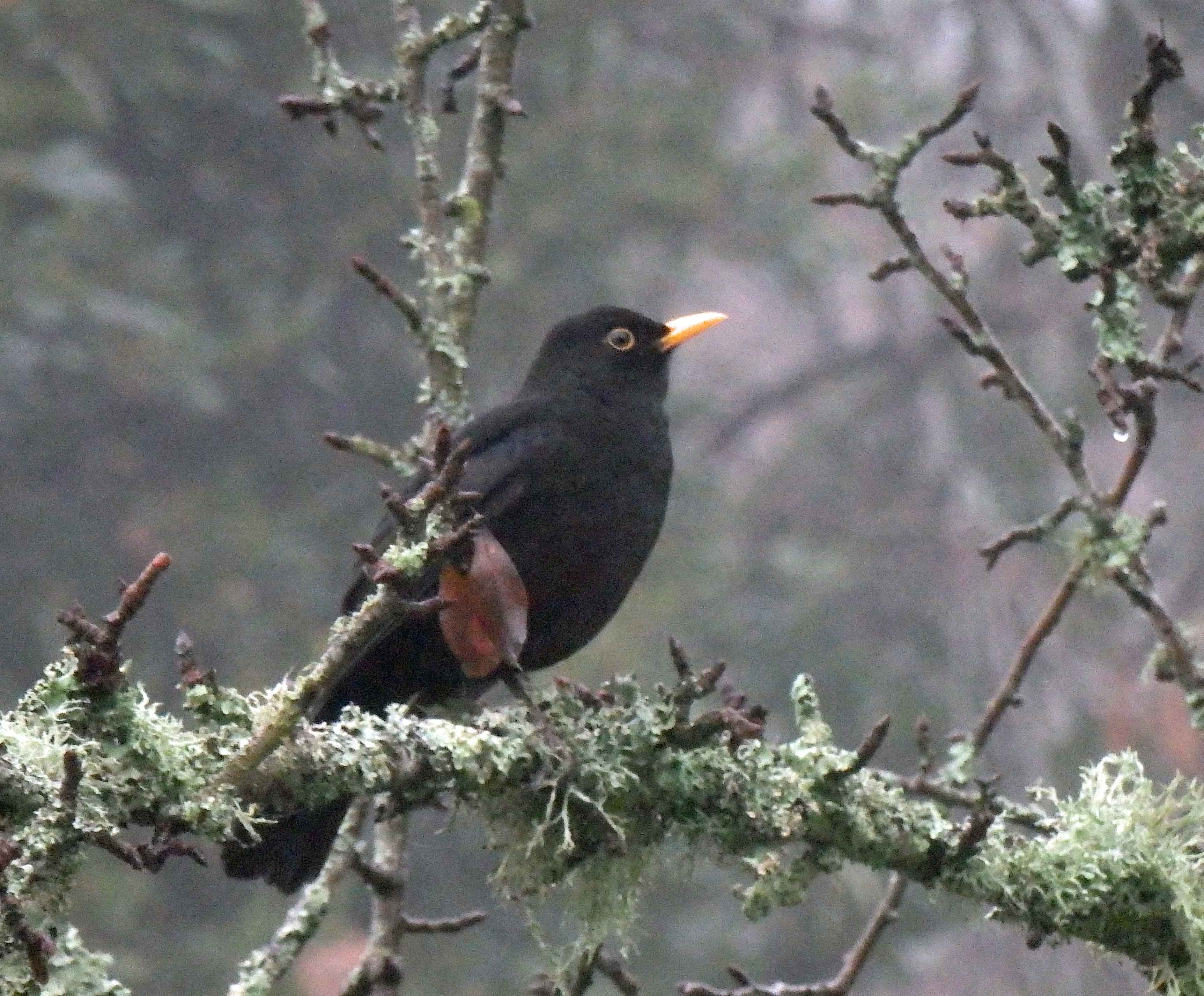 A single blackbird